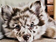 Siberian Kittens For Sale Chicago