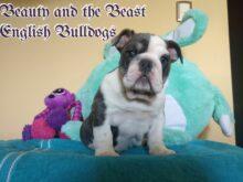 English Bulldogs For Sale In Nc