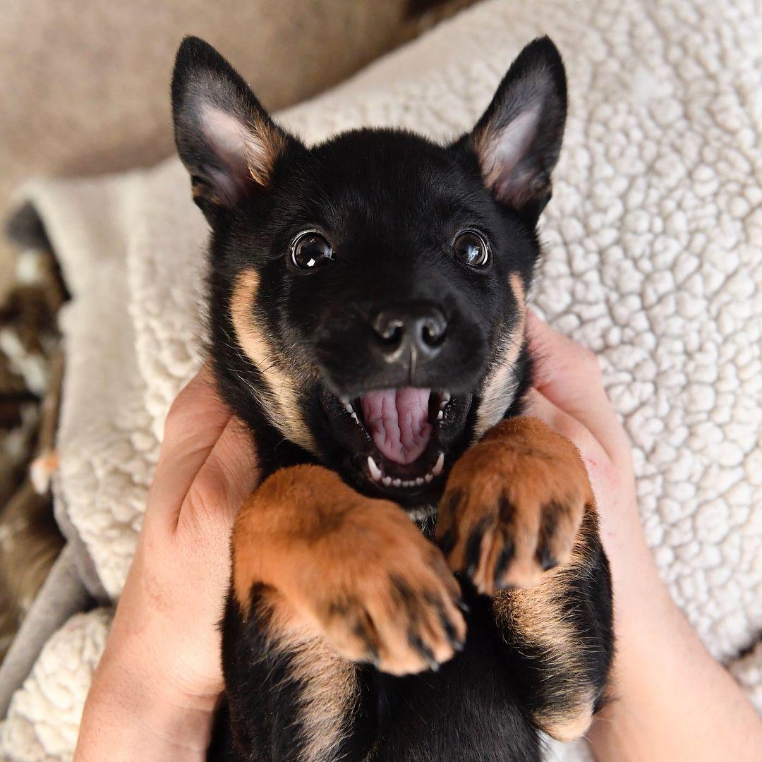 French Bulldog Puppies Nappanee Indiana